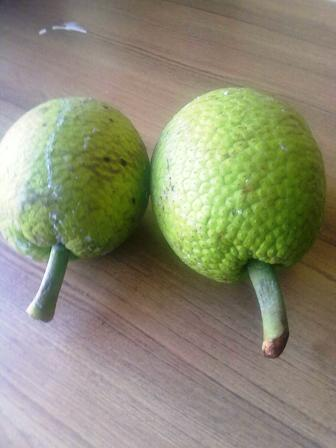 Fit Jamaican breadfruit for roasting/baking