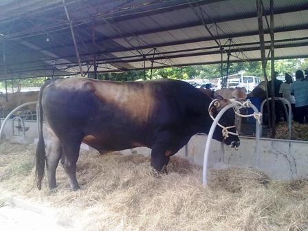 Livestock at Denbigh Agricultural Show Clarendon Jamaica