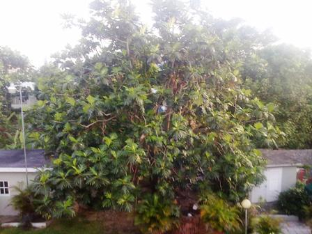 Breadfruit Tree in Kingston