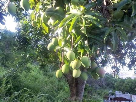 Low hanging fruit - Common Mangoes